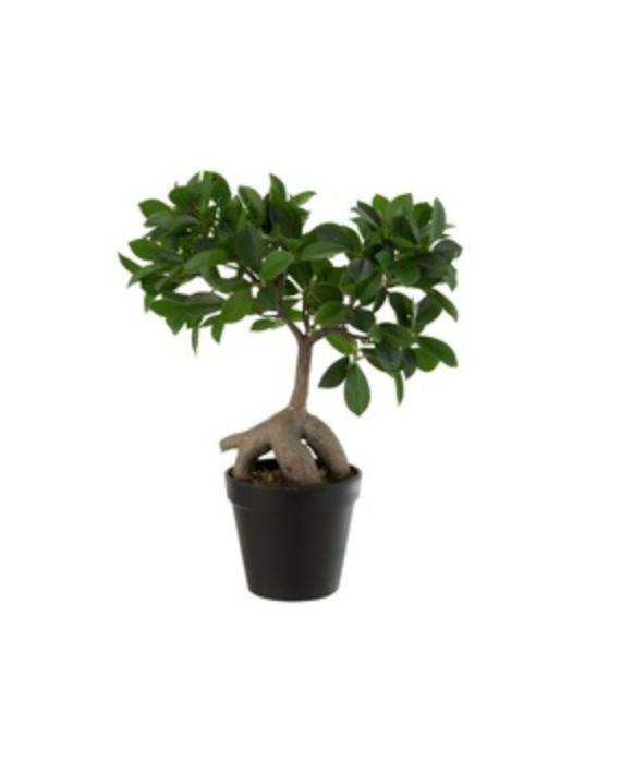Plante Ficus arbre